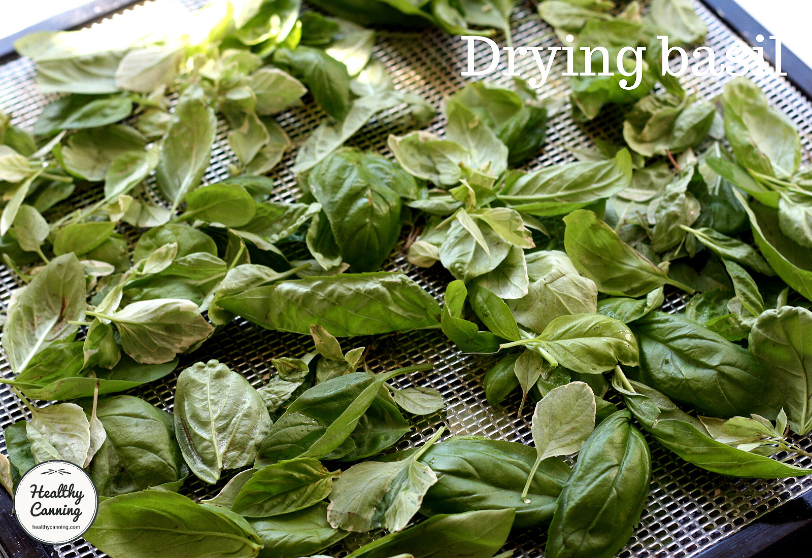 Basil on tray ready to dry