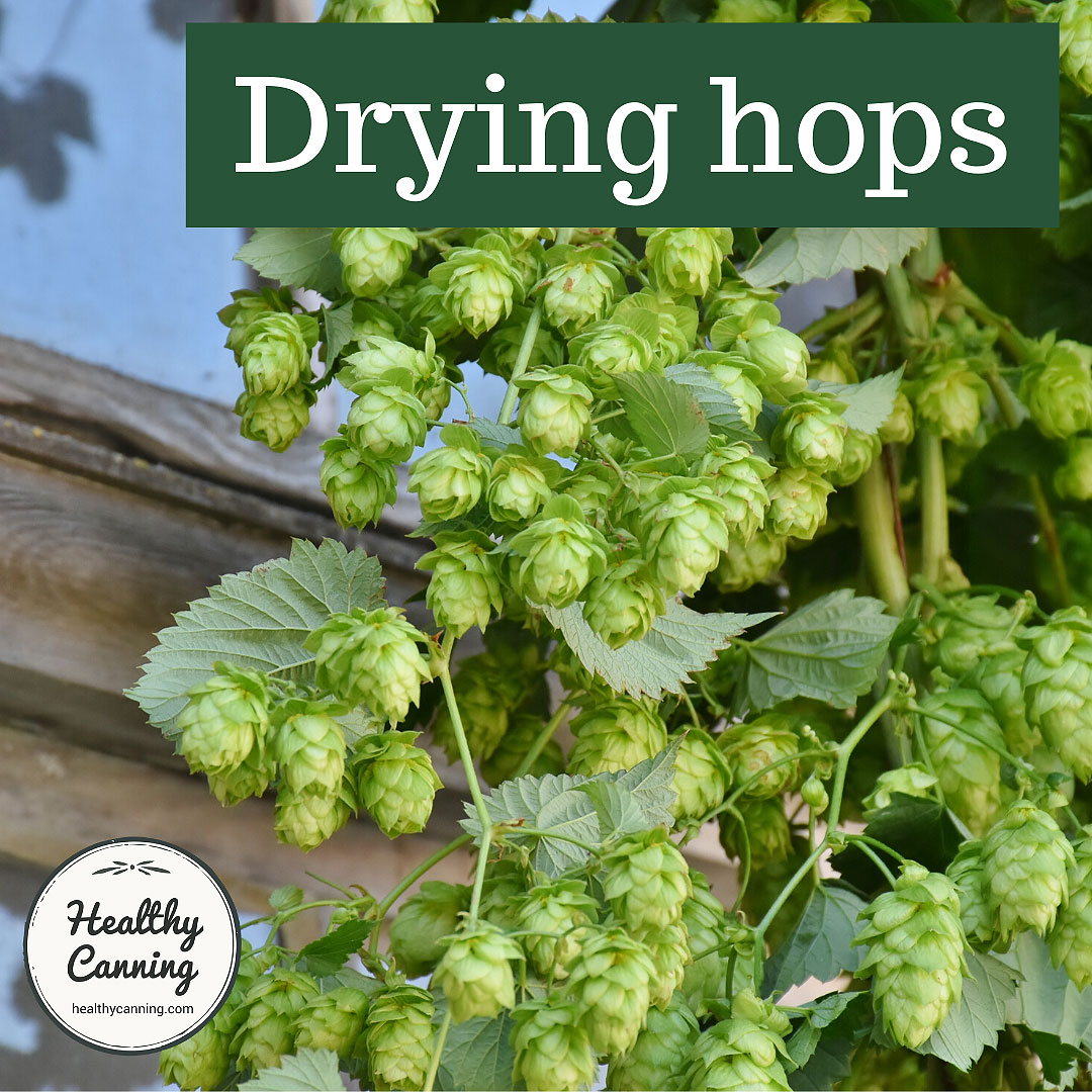 Hop cones on a bine