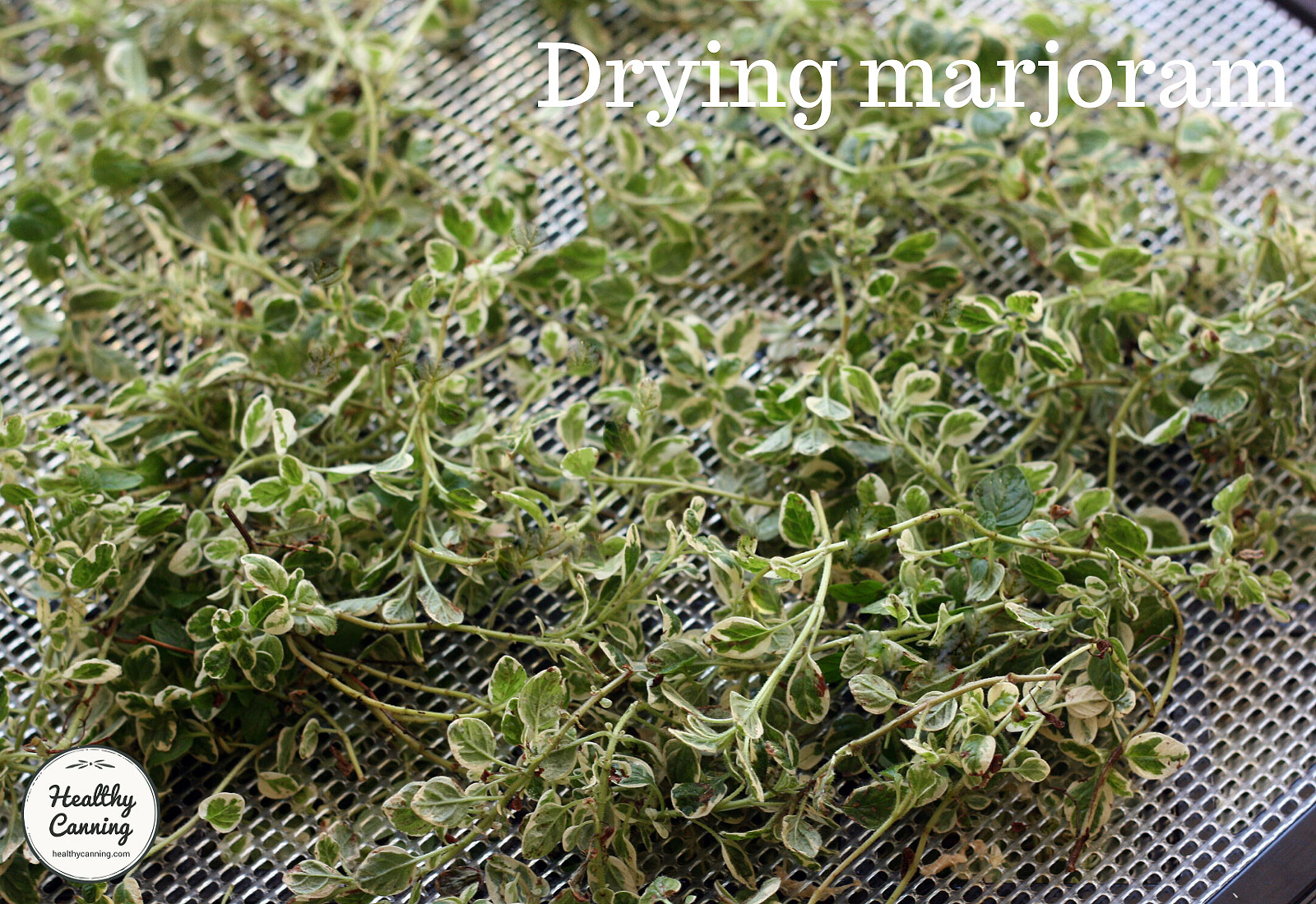 Marjoram on tray reading for drying