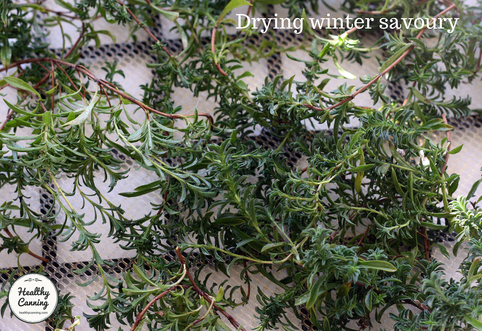 Winter savoury on tray reading for drying