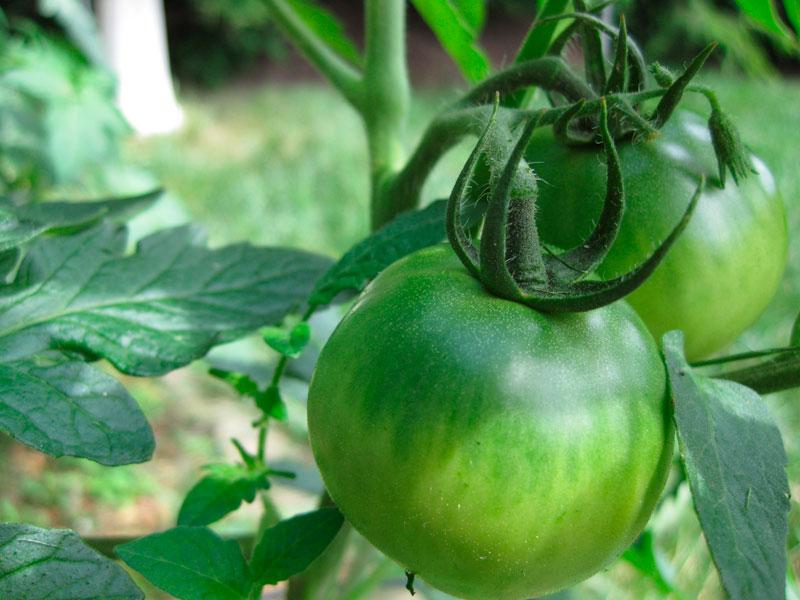 Green tomatoes. sailormn34 / Pixabay.com / 2011/ CC0 1.0