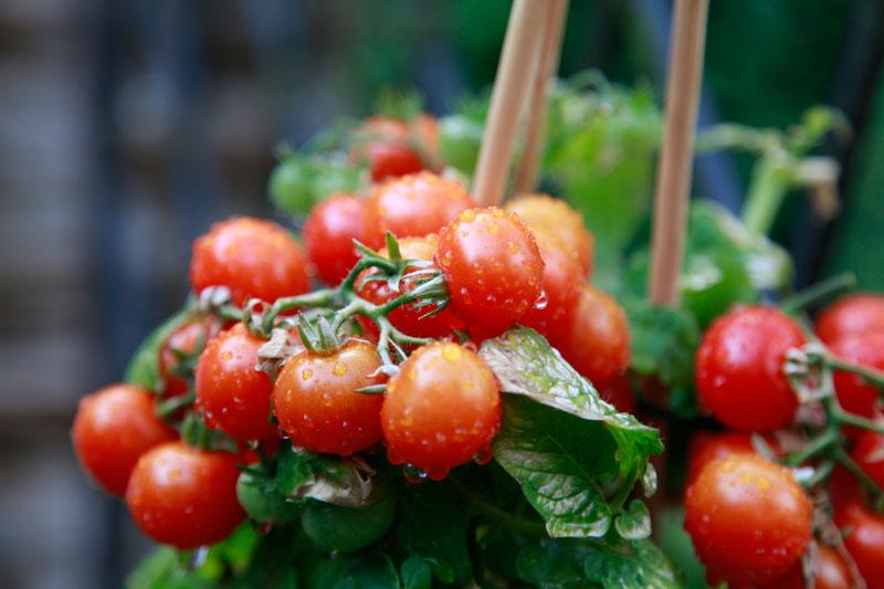 Cherry tomatoes. Sphole / Pixabay.com / 2016 / CC0 1.0