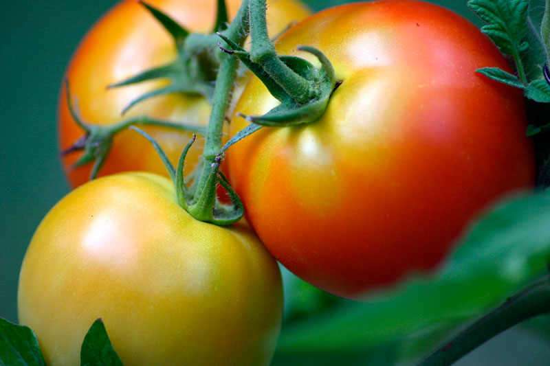 Some research has indicated that tomatoes may be at their peak acidity at the point where they just start to ripen. Mary Pahlke / Pixabay.com / 2004/ CC0 1.0